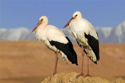 Storks (c) Martin Harvey (http://www.wildimagesonline.co.uk)